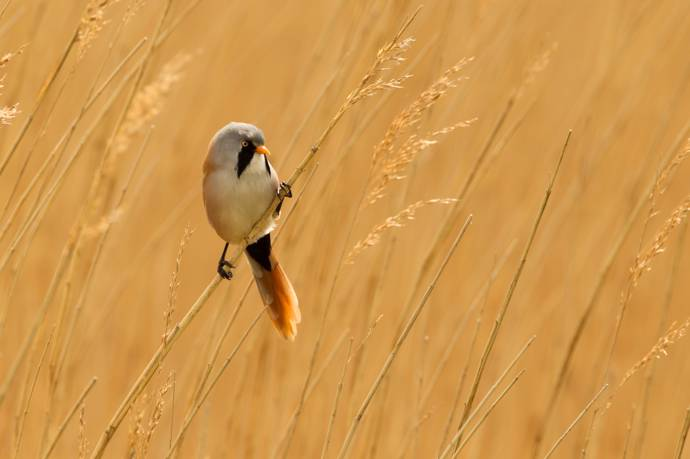 image of a breaded tit perched on some wheat