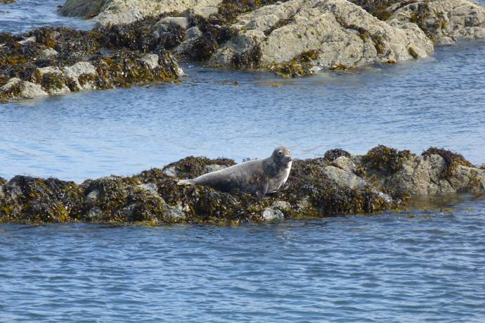 image of a grey seal sitting on a rock in the sea
