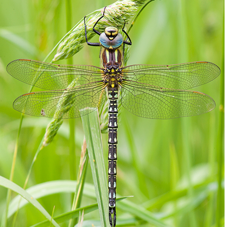 Image of Hairy dragonfly