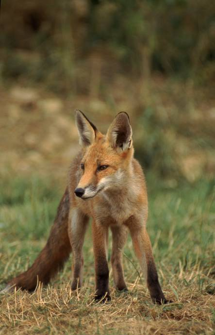 Image of native uk species, a fox