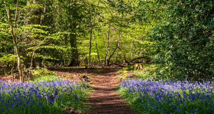 Image of Woodland with Bluebells