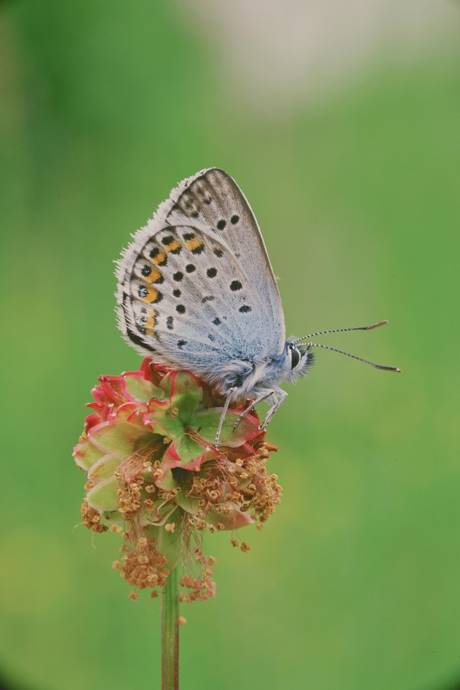 image of a silver studded blue butterfly sitting on a flower